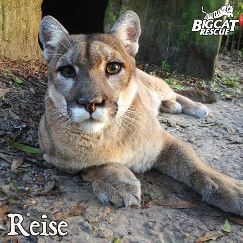 Reise big cat rescue