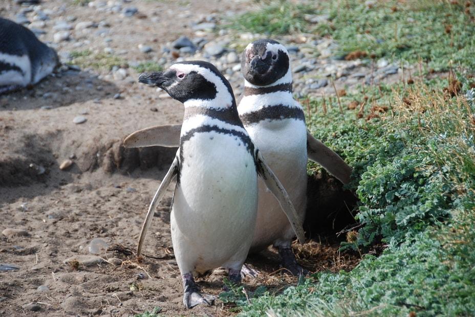 Two Magellanic penguins