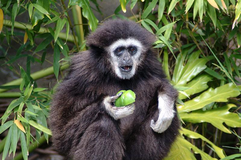 Gibbon in San Francisco Zoo