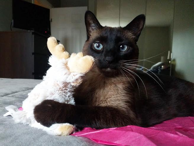 siamese manx cat