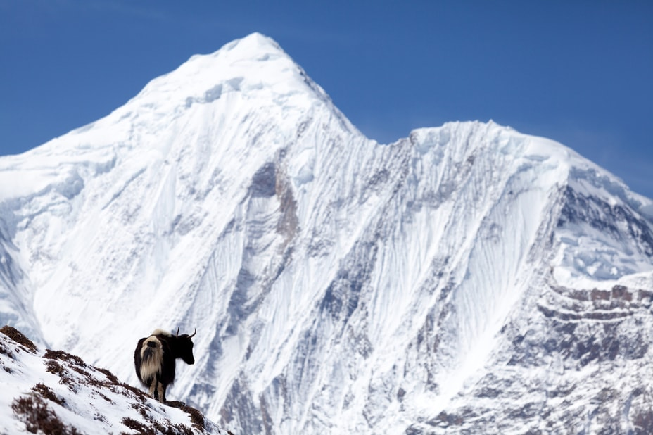 yak on top of a snowy mountain