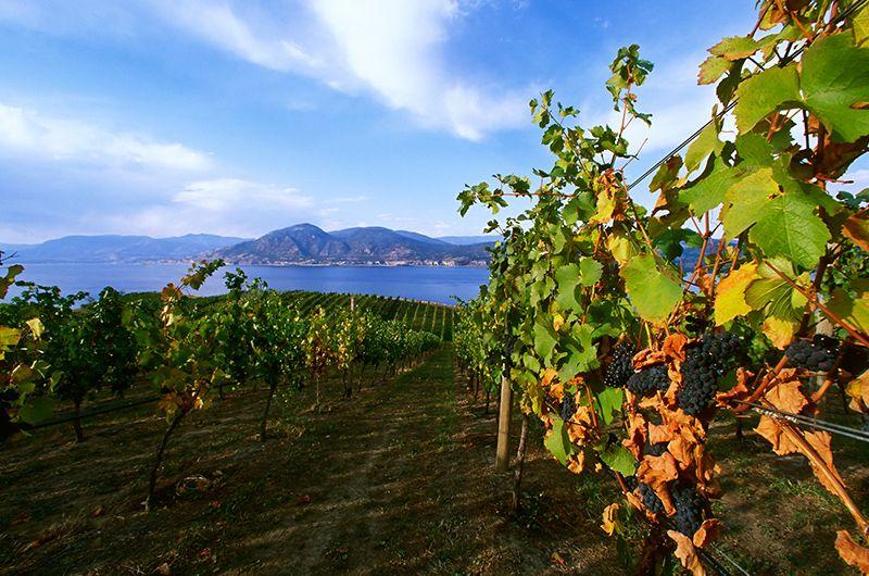 Okanagan vineyard Penticton